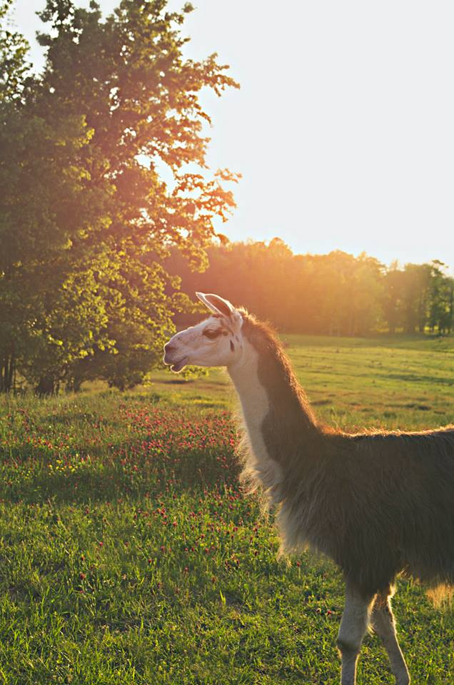 Ralph the Wonder Llama at Leavelle Farms photo by Jacqueline Jackson Photography